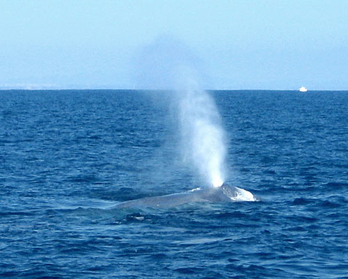 Blue Whale Spouting - Photograph taken by Hugh Clark on our Whale and Dolphin Boat Trip, August 8, 2010