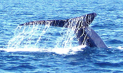 Picture of Blue Whale Tail taken by Hugh Clark on our Dolphin and Whale Boat Trip August 8, 2010