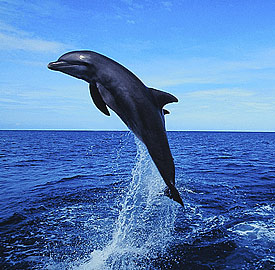Dolphin-Jumping-C