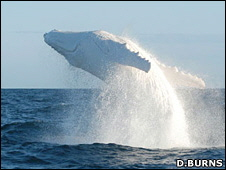 13. White Whale Iniatiation