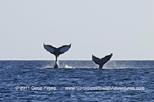 2 Whale Tails med