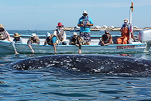 Gray Whales - 3
