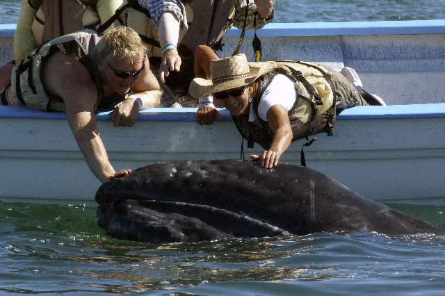 Gray-Whales-being-Petted-C