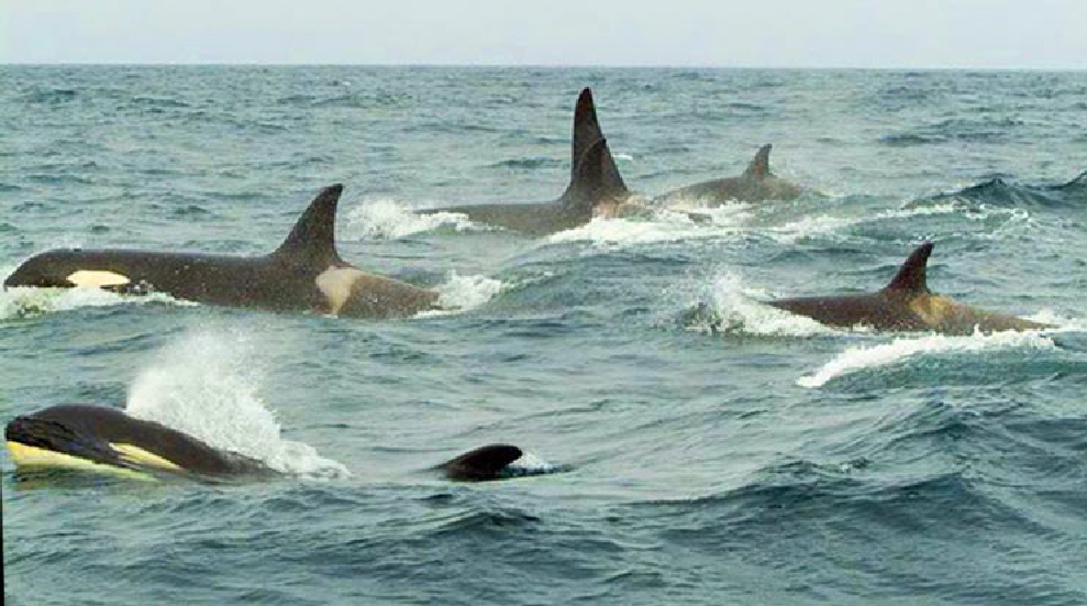 Orcas-swimming-in-the-Ocean-2-C