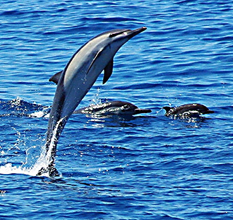 Super-Great-leaping-dolphin-2C