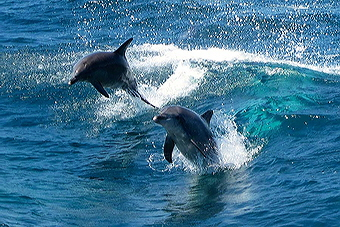leaping-dolphins2s